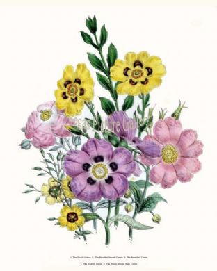 Cistus, Purple; Sheathed-leaved Cistais, Beautiful Cistus